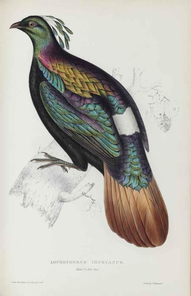 GOULD, John (1804-1881) & Nicholas Aylward VIGORS (1787-1840...