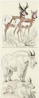 Mountain Goat and Antelope; and two companion drawings