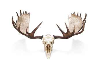 Moose skull drawing - photo#14