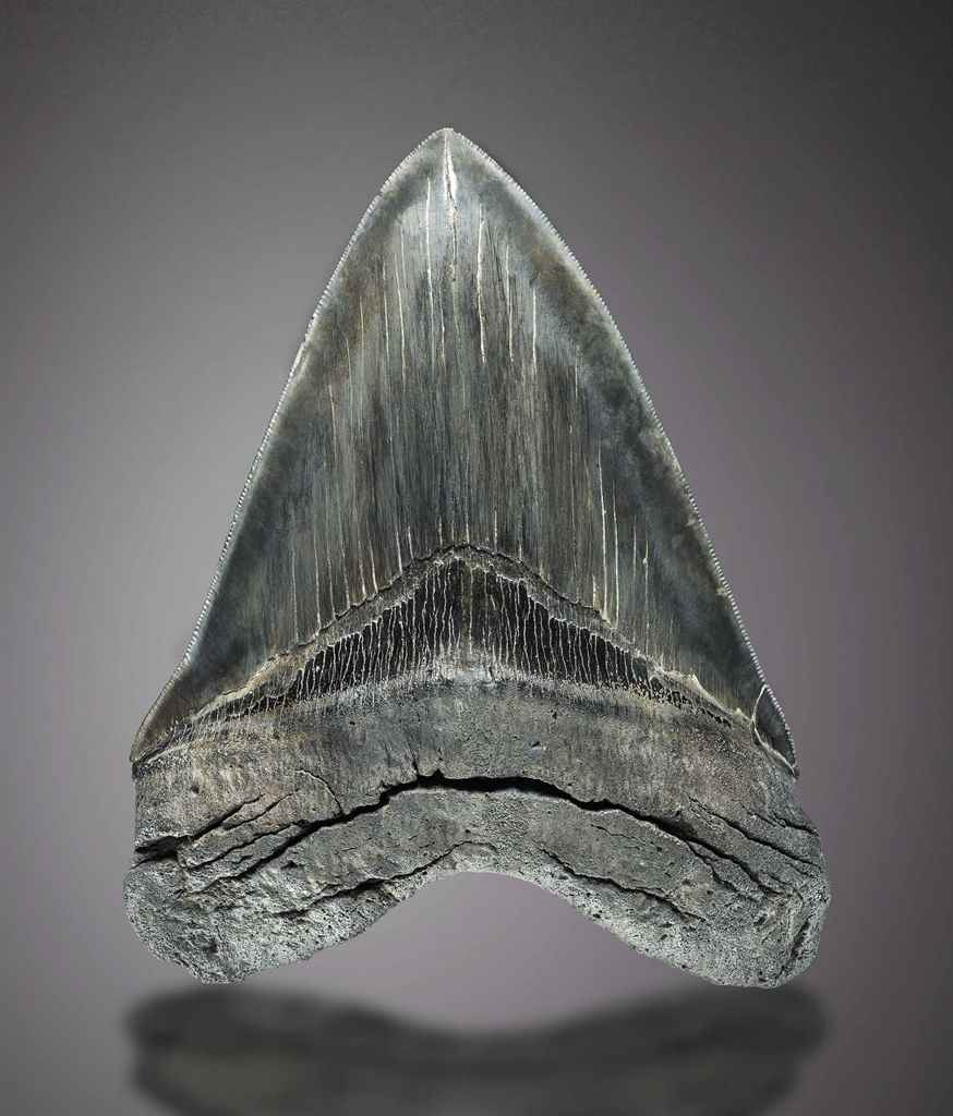 A VERY LARGE MEGALODON TOOTH