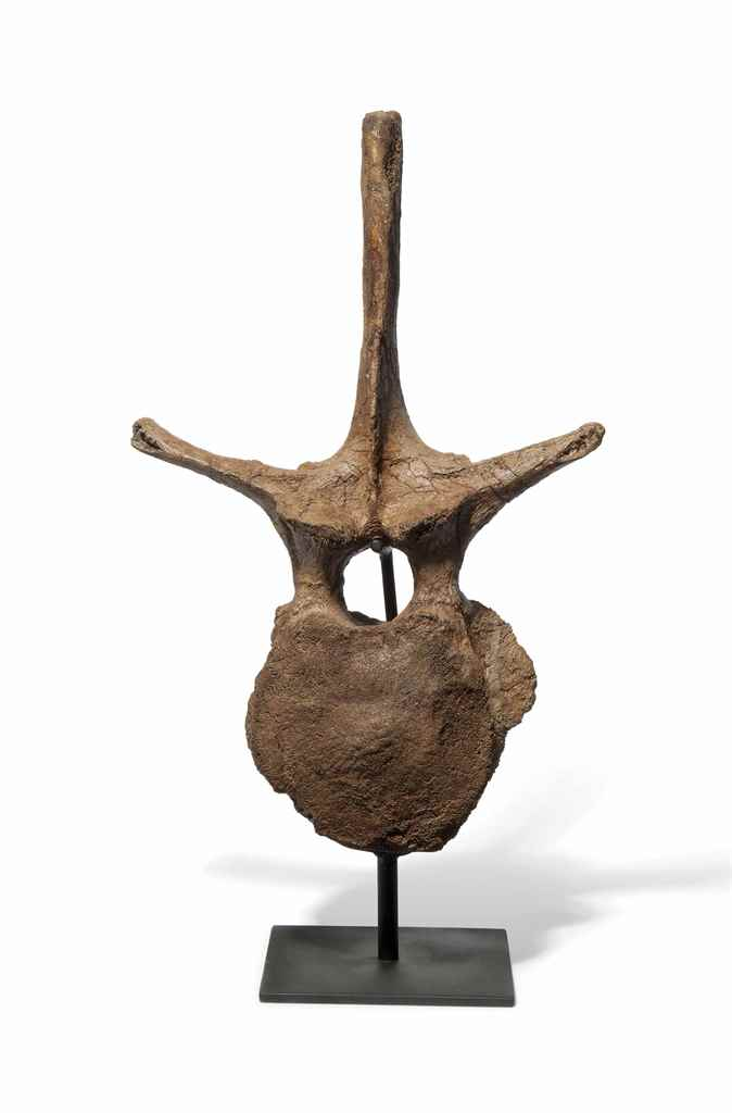 THE VERTEBRA OF A TRICERATOPS
