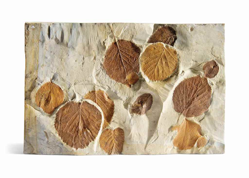 A FOSSIL LEAF PLAQUE