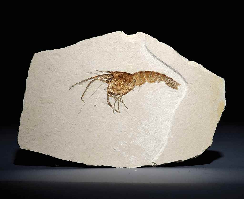 A FOSSIL SHRIMP