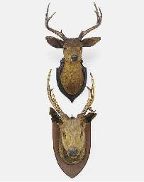 Two Edwardian stag head wall t