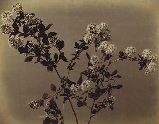 Branche fleurie; et Chrysanthè