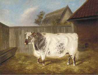 A two year old Shorthorn Bullo