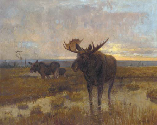 Moose on the marshes, dusk