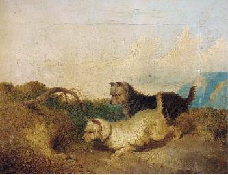 Terriers rabbiting