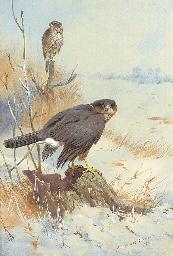 Sparrowhawk in Winter