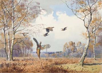 Pheasant rising from bracken a