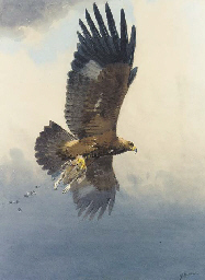 Golden Eagle with grouse