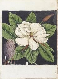 CATESBY, Mark (1682-1749). Hor