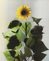 Untitled (Sunflower Series)