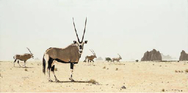 Kalahari Gemsbock