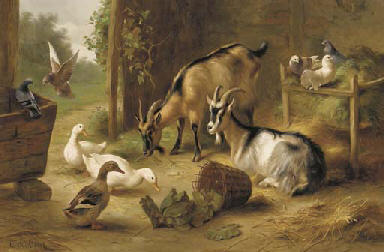 Goats, ducks and pigeons in a