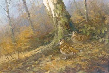 Woodcock amidst silver birch