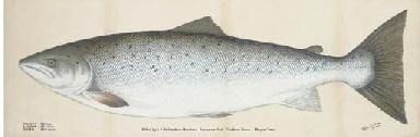 A salmon caught by L. J. Richa