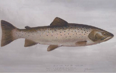 Brown trout weight, 7½ lb., le