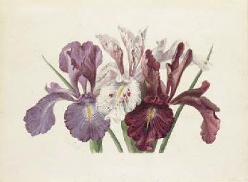 Iris xyphioides (English Iris)