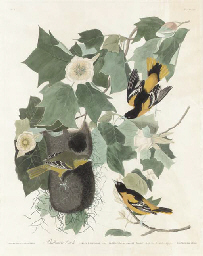 Baltimore Oriole (Pl. XII), fr