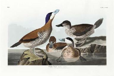Ruddy Duck (Pl. CCCXLIII), fro
