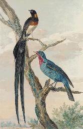 A Whydah Bird and a Continga