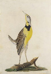 A yellow breasted Woodpecker o