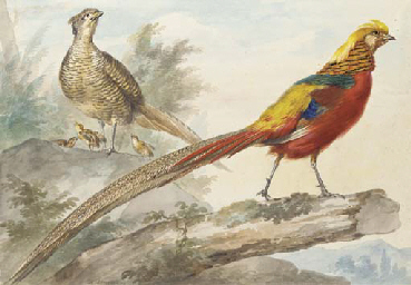 A Golden Pheasant standing on