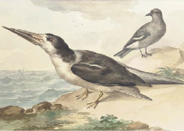 A skimmer and a dove on the se