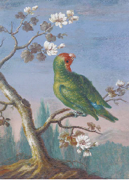 A Red Fronted Parakeet