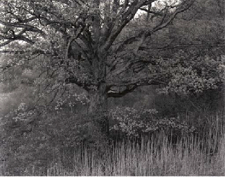 Oak Tree, Holmdel, New Jersey,