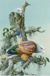 Vincent Amazon Macaws