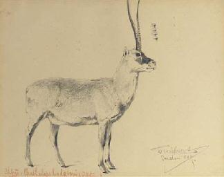 Chiru (Pantholops hodgsonii) -