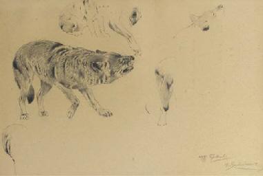 A Wolf - a study