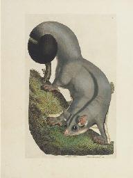 SHAW, George (1751-1813). Zool