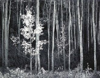 Aspens, Northern New Mexico, 1