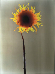 Untitled (Sunflower), 1992