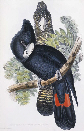 GREAT-BILLED BLACK COCKATOO Ca