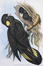 YELLOW-EARED BLACK COCKATOO Ca