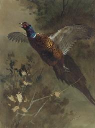 A cock pheasant in flight