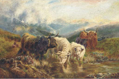 Highland cattle drinking from