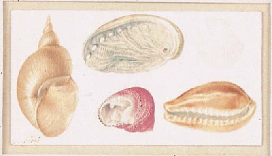 FIVE STUDIES OF CONCHES
