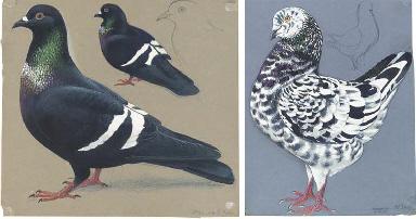A Magnani Modena Pigeon (illus