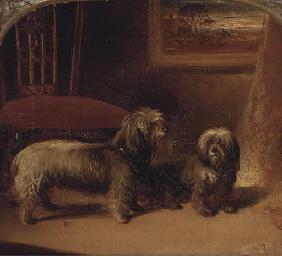 Two dandie dinmont terriers in