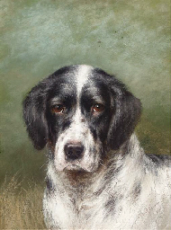 The head of a English setter