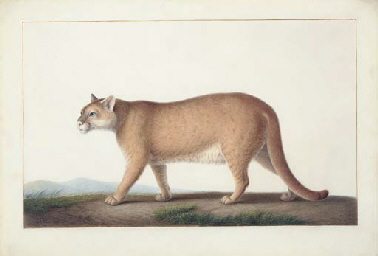 An American cougar (Felis conc
