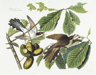 Yellow-billed Cuckoo (Plate II