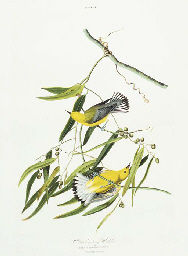 Prothonotary Warbler (Plate II