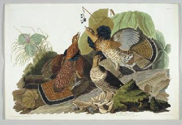 Ruffed Grous (Plate 41) Bonasa