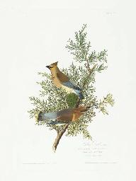 Cedar Bird (Plate 43) Cedar Wa